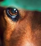 """""""Penktadienio šuo: pažinkime veisles"""" – LKD feisbuke ir jutube"""