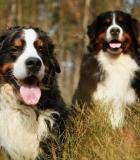 Kiek skysčių reikia šuniui?