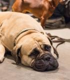 Šuns ir žmogaus smegenys: kas panašu?