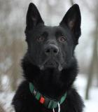 Šuns gerovė ir antkaklis: tai suderinama!